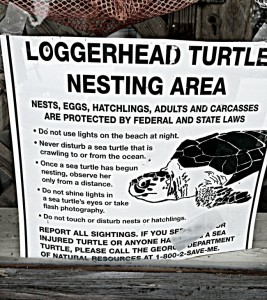 ssi-loggerhead-turtles