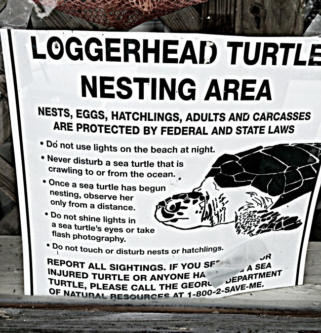 Loggerhead Turtles on St. Simons Island